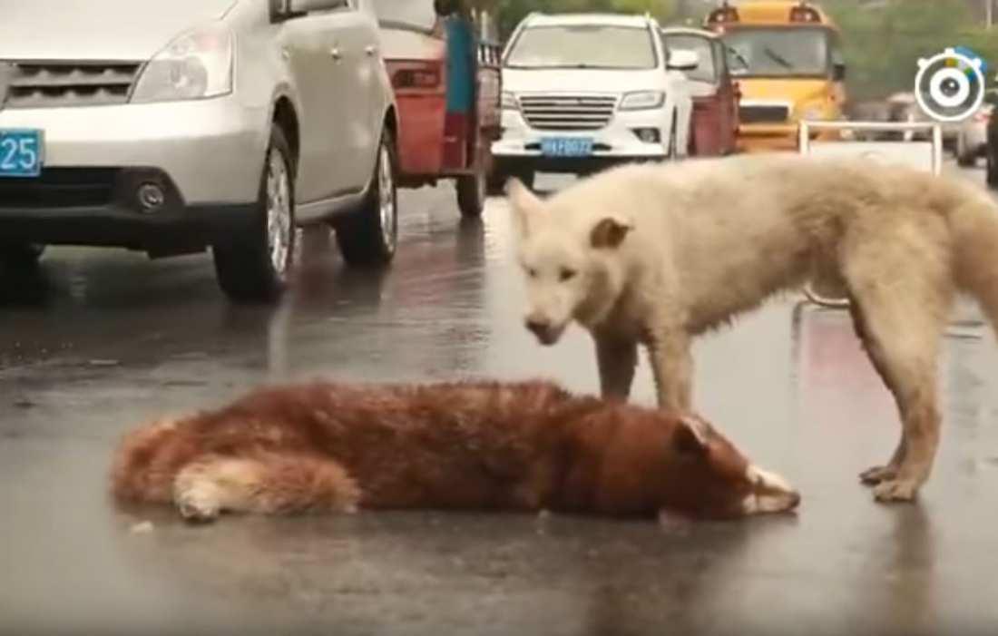 Συγκινητικό βίντεο: «Ραγίζει» καρδιές ο σκύλος που θρηνεί τον άψυχο φίλο του