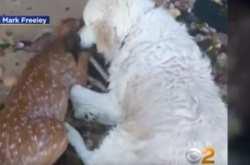 Σκύλος «ήρωας»  βούτηξε σε ποτάμι και έσωσε ελαφάκι που πνιγόταν! (ΒΙΝΤΕΟ)