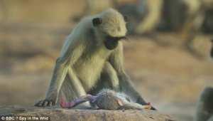 Μαϊμούδες θρηνούν για το χαμό συντρόφου τους που δεν γνώριζαν ότι ήταν ρομπότ